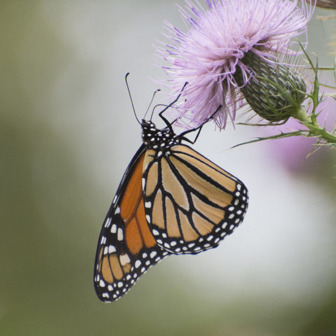 Butterfly 2019-127 / Monarch butterfly (Danaus plexippus)